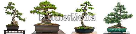 bonsai, nadelbäume, im, panorama - 28258306
