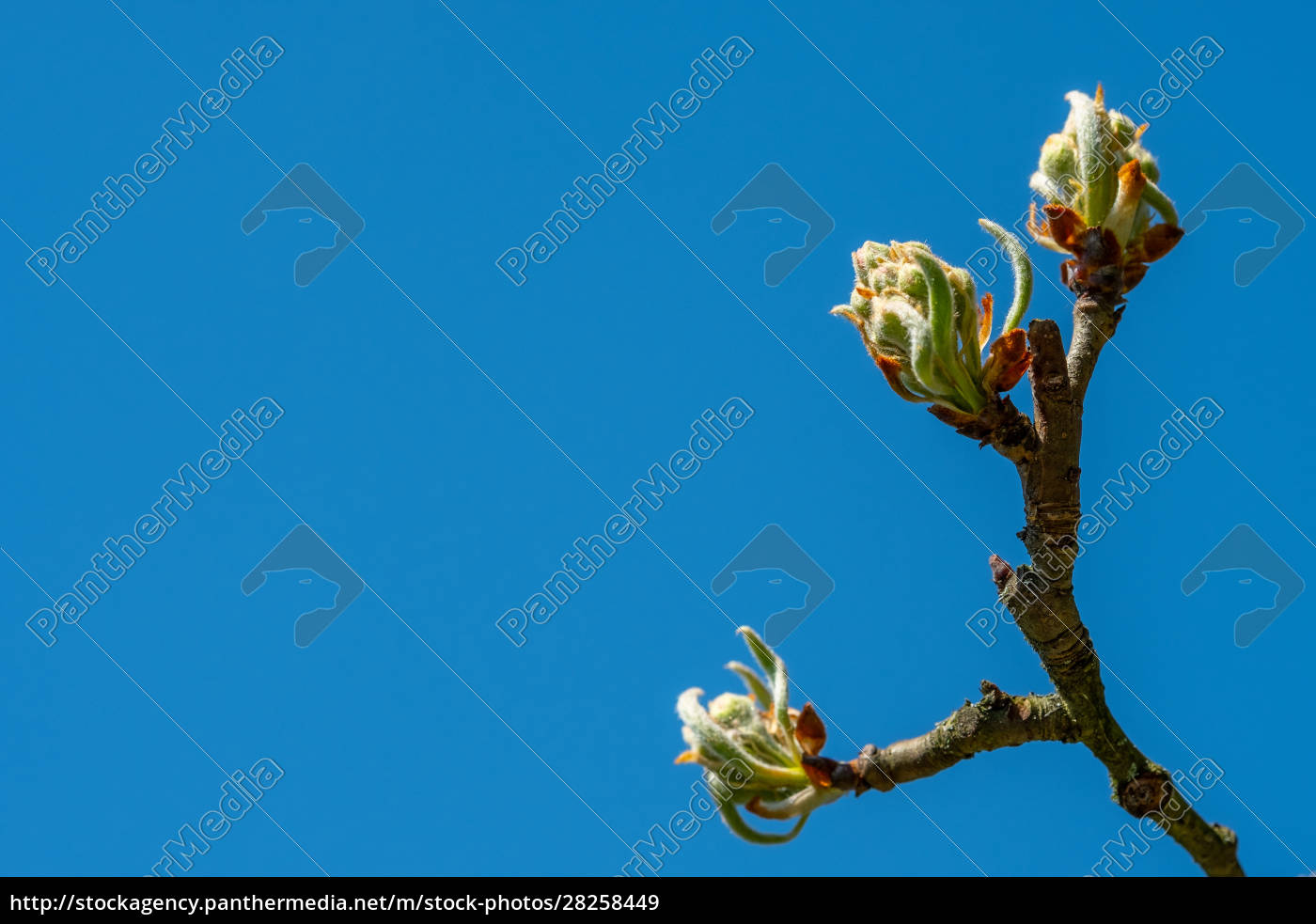 buds, and, young, leaves, at, a - 28258449