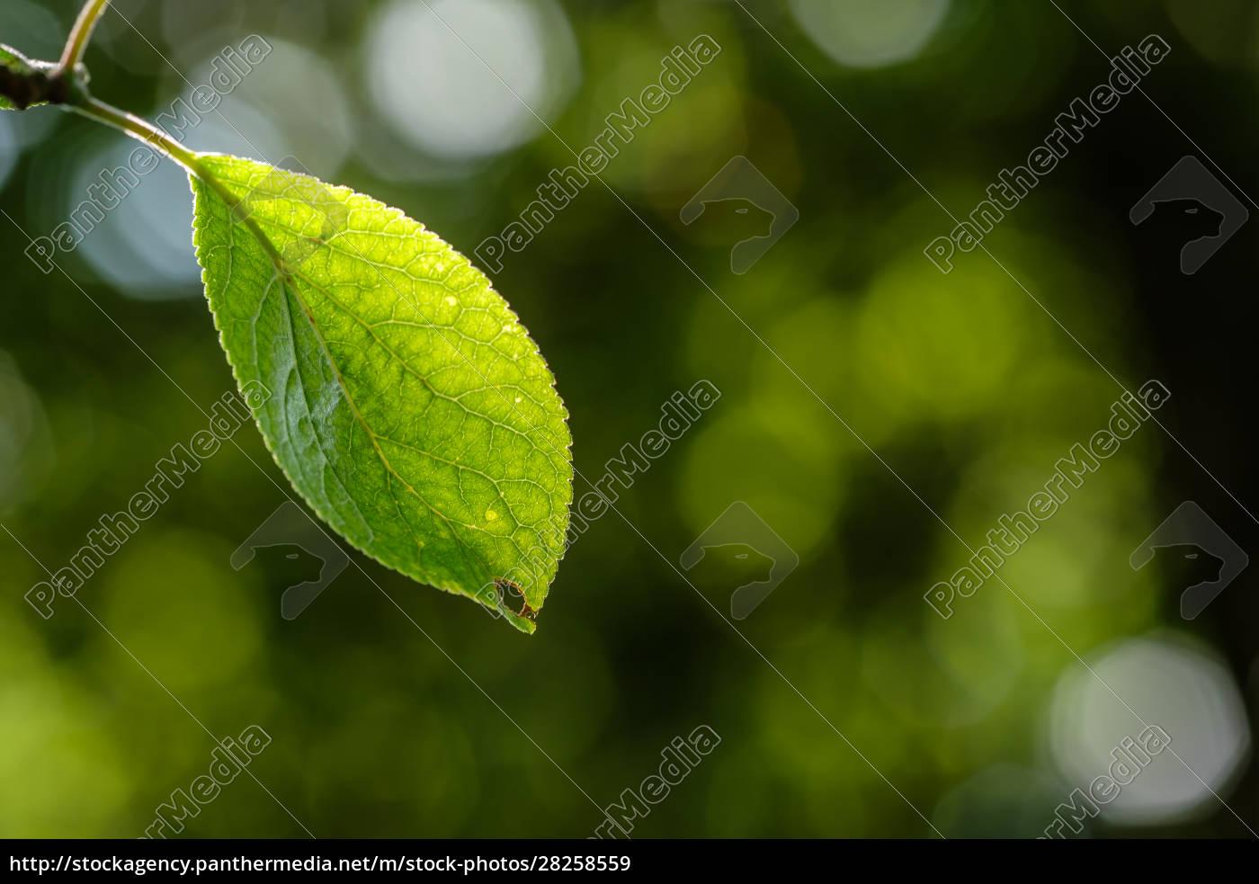green, leaf, of, a, plum, tree - 28258559
