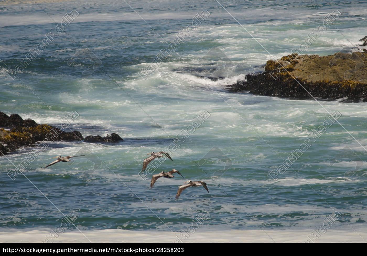 peruvian, pelicans, in, flight, over, the - 28258203