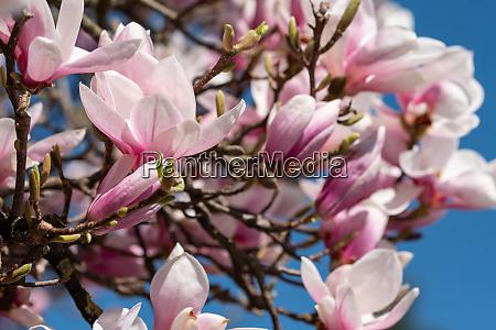 pink, magnolia, blossom, ornamental, plant - 28258537