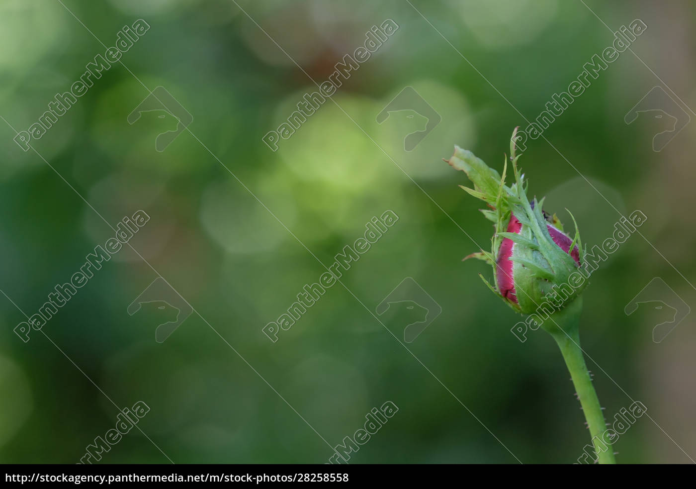 rose, bud, with, bokeh - 28258558