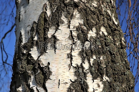 silver, birch, , betula, pendula, , bark, in - 28258693