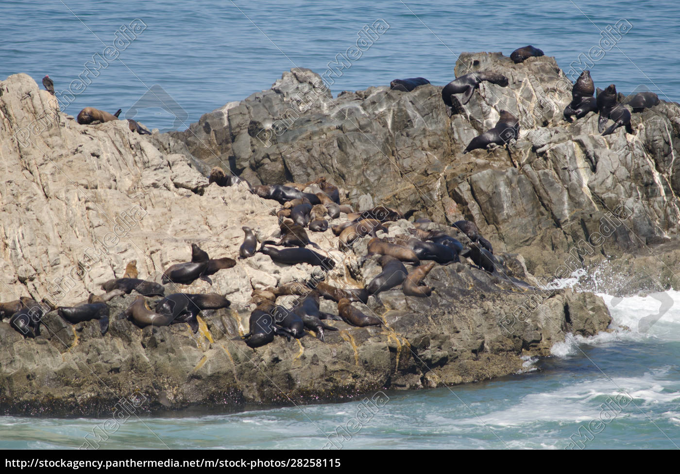 south, american, sea, lions, on, a - 28258115
