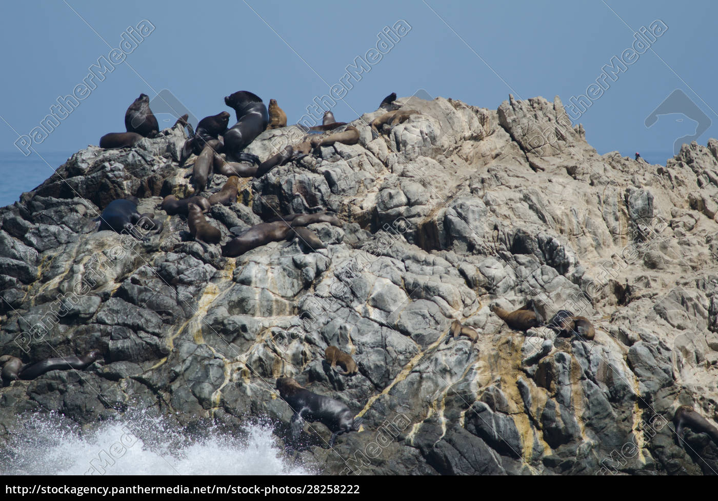 south, american, sea, lions, on, a - 28258222