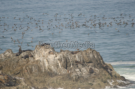 south, american, sea, lions, otaria, flavescens - 28258132