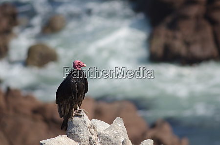 turkey, vulture, cathartes, aura, on, a - 28258007