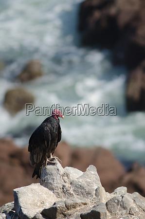 turkey, vulture, cathartes, aura, on, a - 28258008