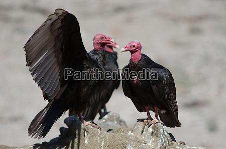 turkey, vulture, cathartes, aura, on, a - 28258209
