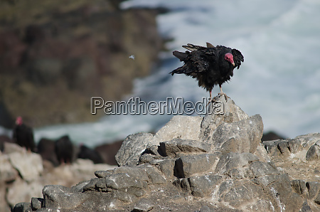 turkey, vulture, cathartes, aura, shaking, its - 28258006