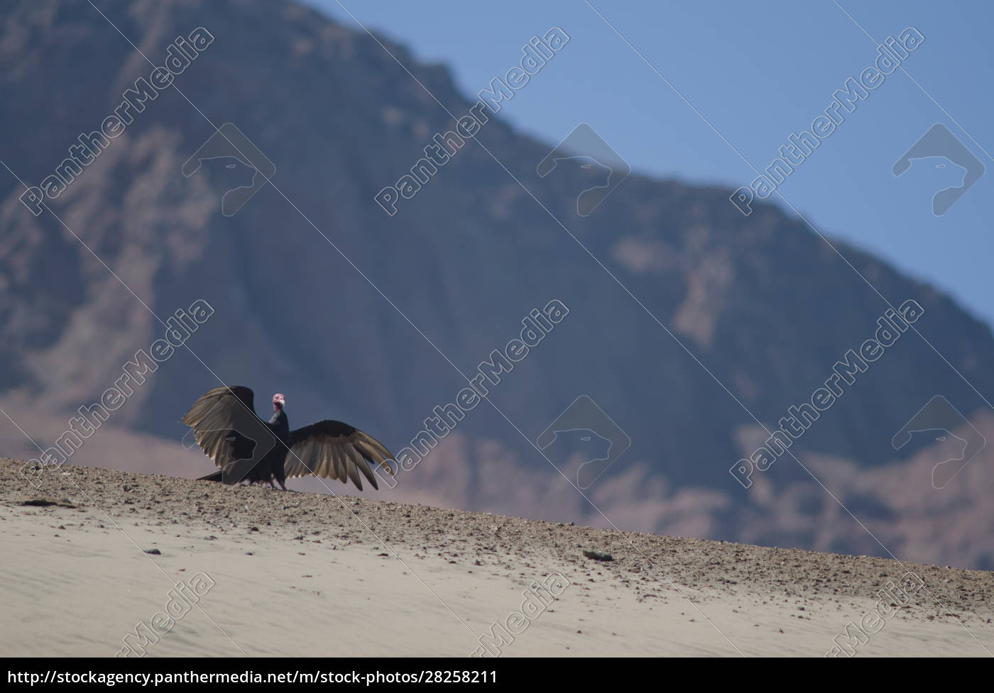 turkey, vulture, cathartes, aura, stretching, its - 28258211