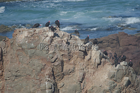 turkey, vultures, cathartes, aura, on, a - 28258126