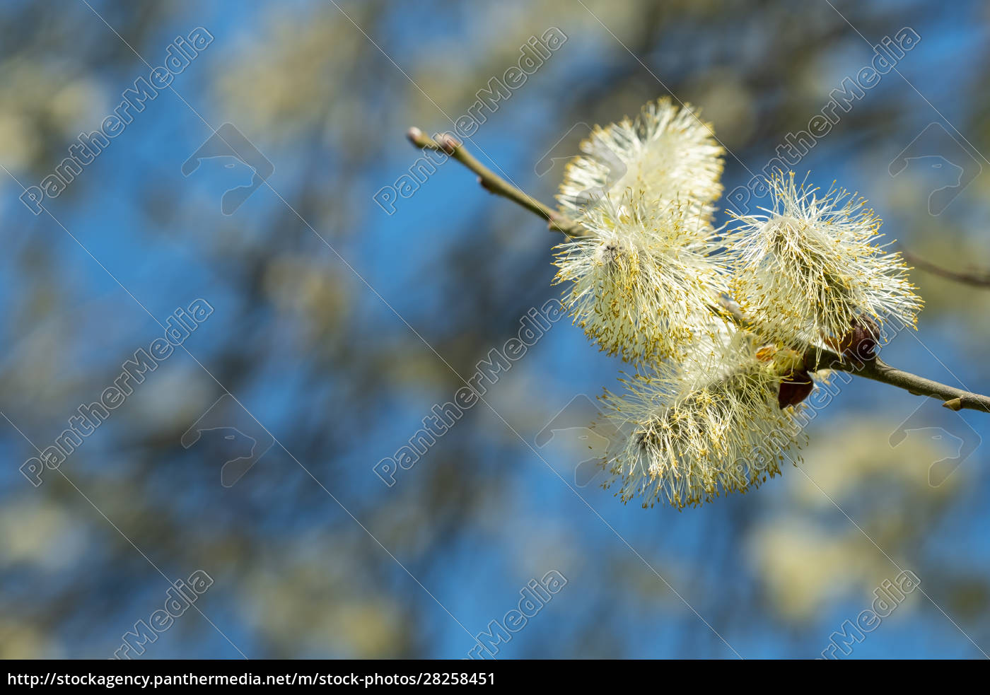 twig, of, a, willow, (salix), with - 28258451