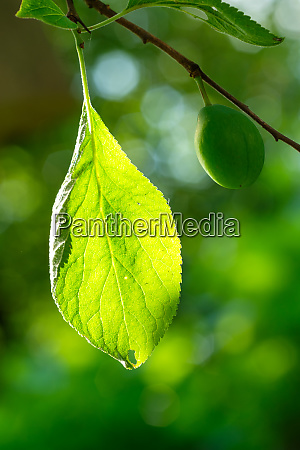 uripe, green, plum, with, leaf - 28258539