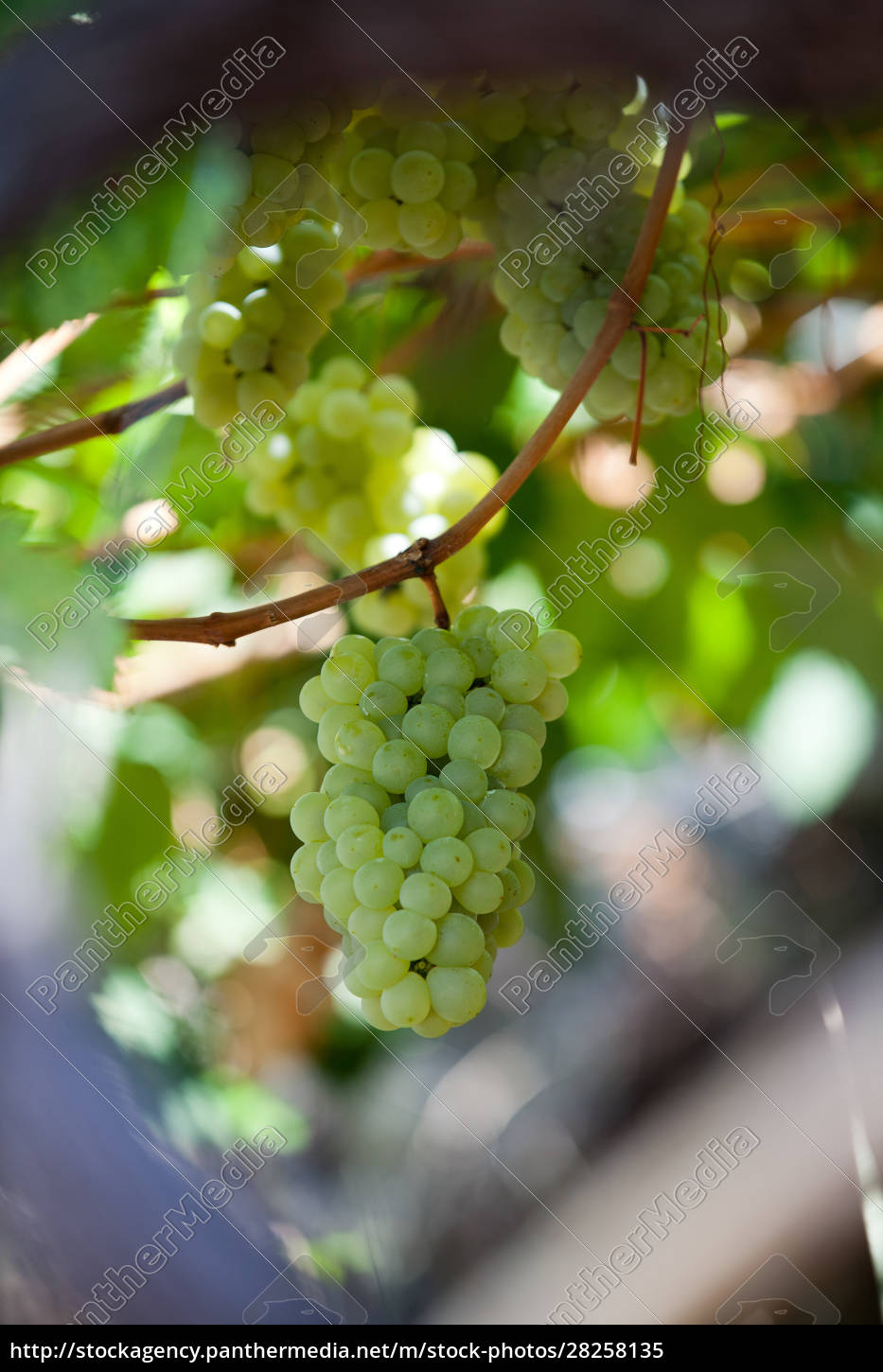 white, grapes, in, the, vineyard, - 28258135