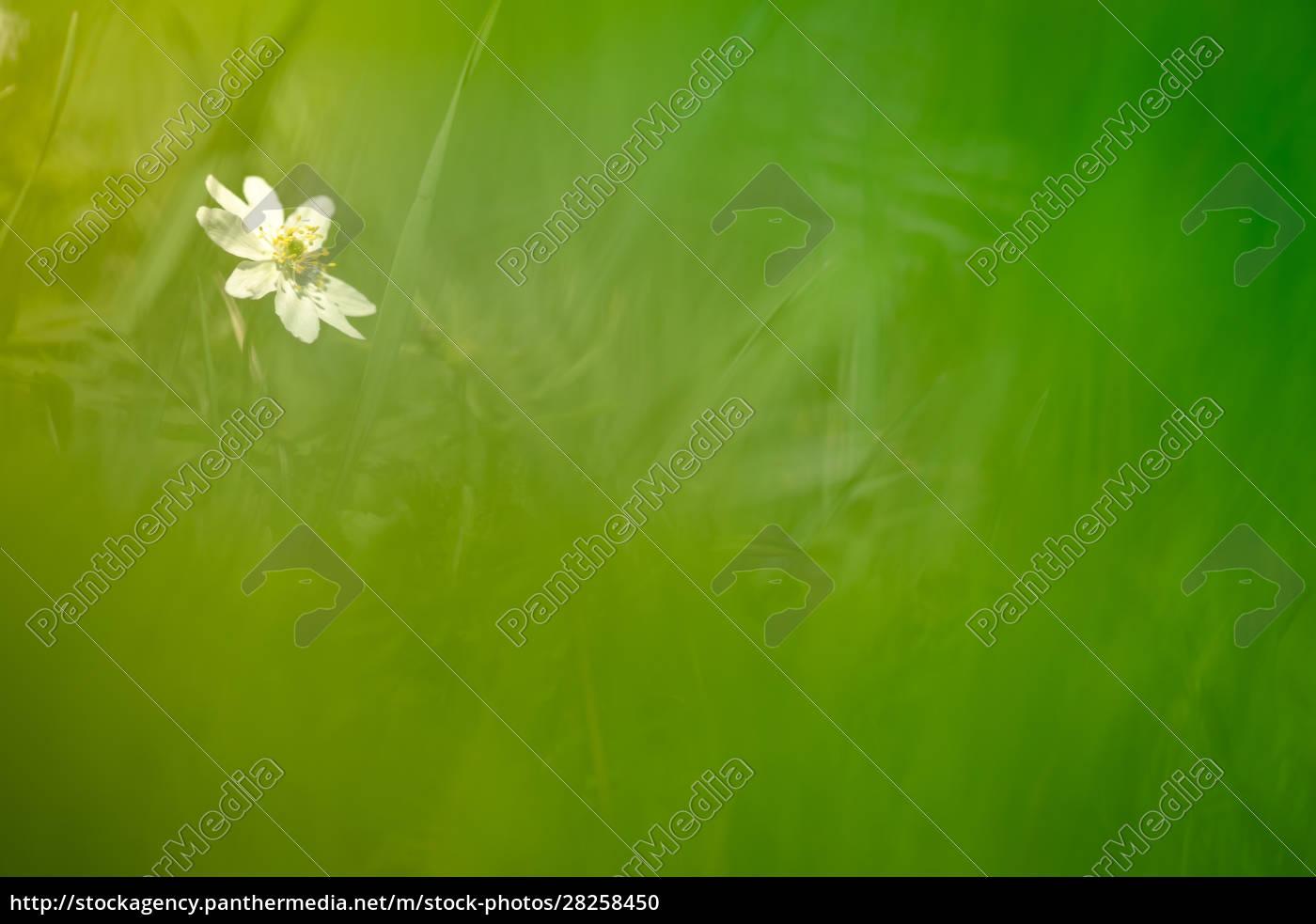 white, windflower, blossom, (anemone, nemorosa), on - 28258450
