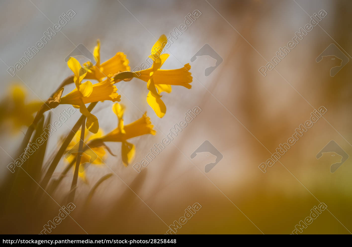 yellow, daffodil, blossom, with, blurred, background - 28258448
