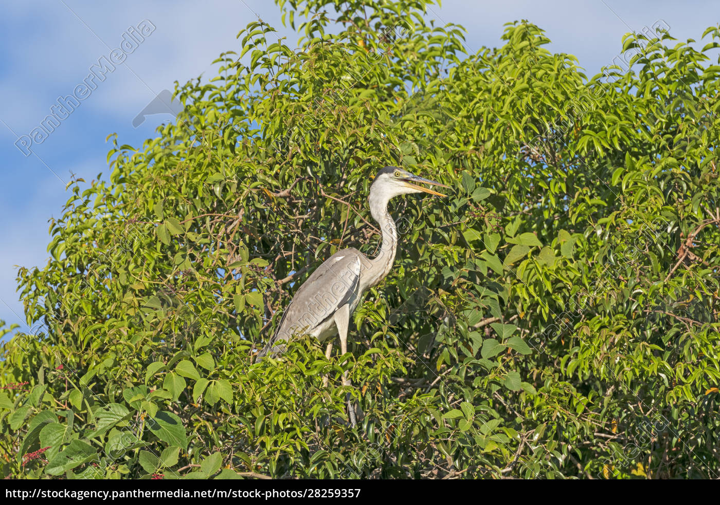 cocoi, heron, in, a, pantanal, tree - 28259357