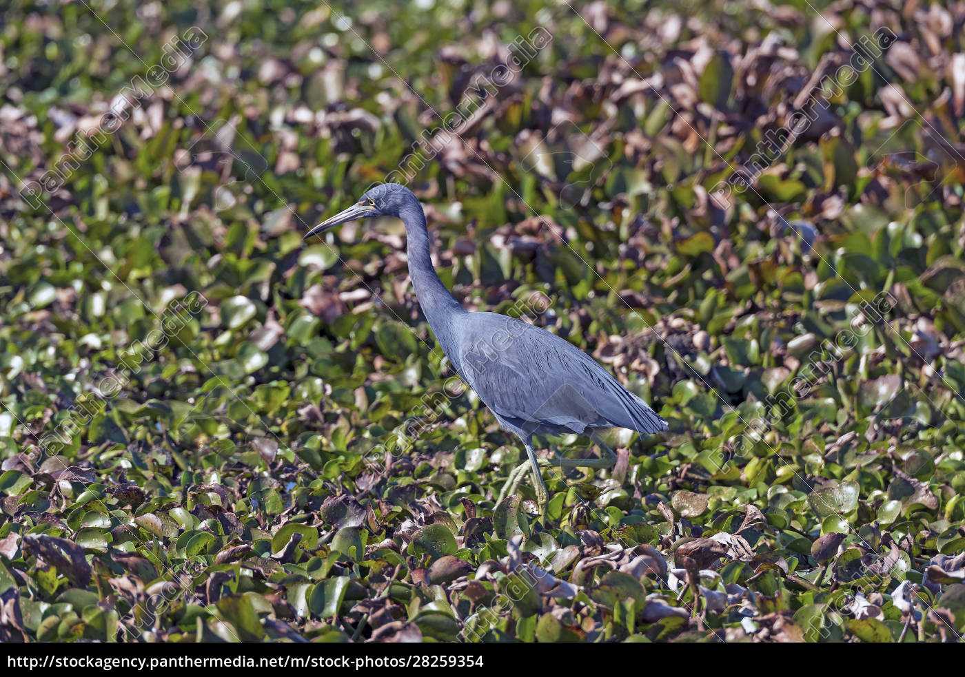 little, blue, heron, wandering, the, wetlands - 28259354