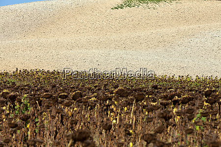ripened, sunflowers, ready, for, harvesting, for - 28259584