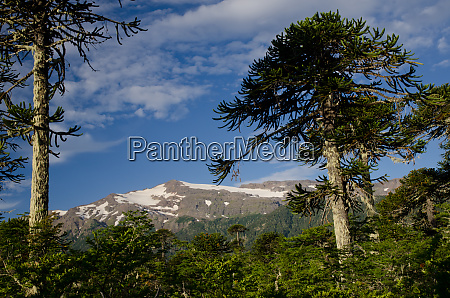forest of monkey puzzle tree and