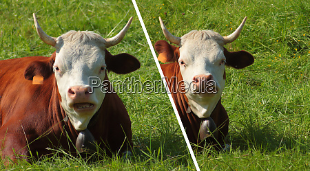 funny cow watching the camera with