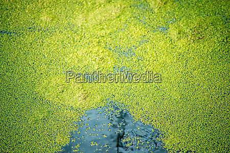 common duckweed on the surface of