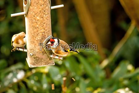 the european goldfinch at a fodder