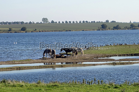 insel poel with horses on the