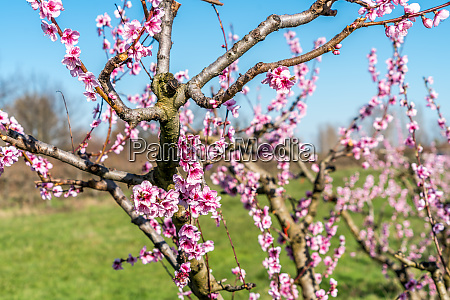 orchard of young plum trees en