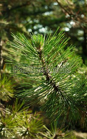 green line barbed fragrant pine