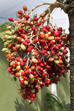 a palm with red fruits