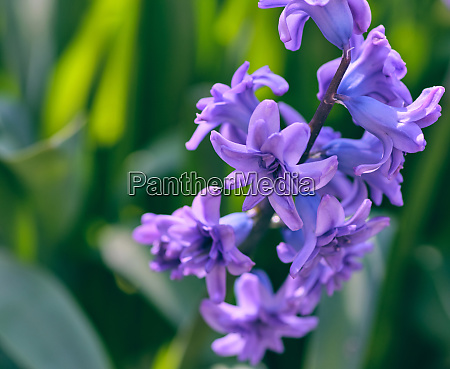 bouquet of blue blooming oriental hyacinth