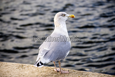 herring gull on a pier in