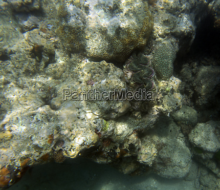 a, giant, tridacna, clam, in, the - 28277948