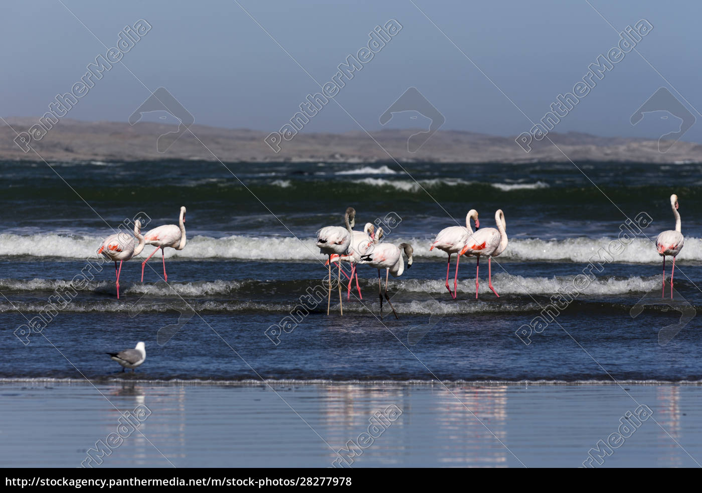 flamingo, birds, in, front, of, the - 28277978