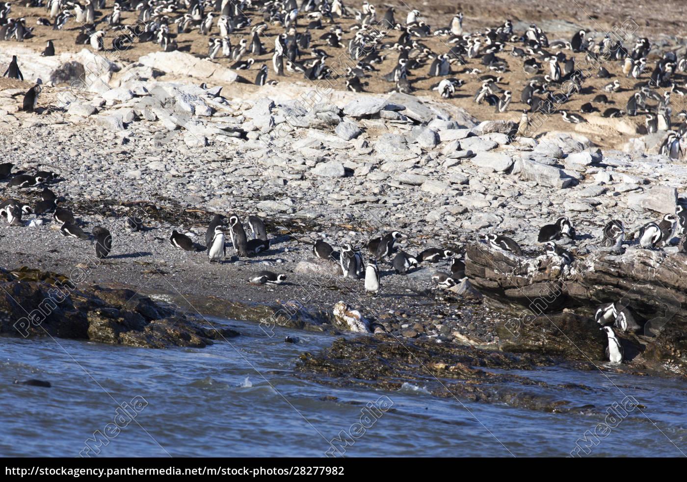 photo, of, many, penguins - 28277982