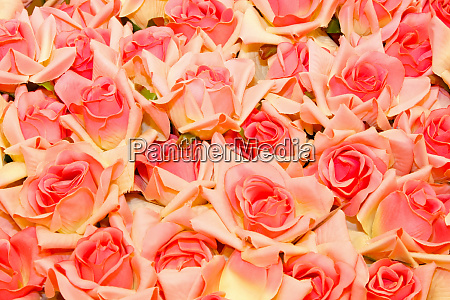 roses, background - 28277641