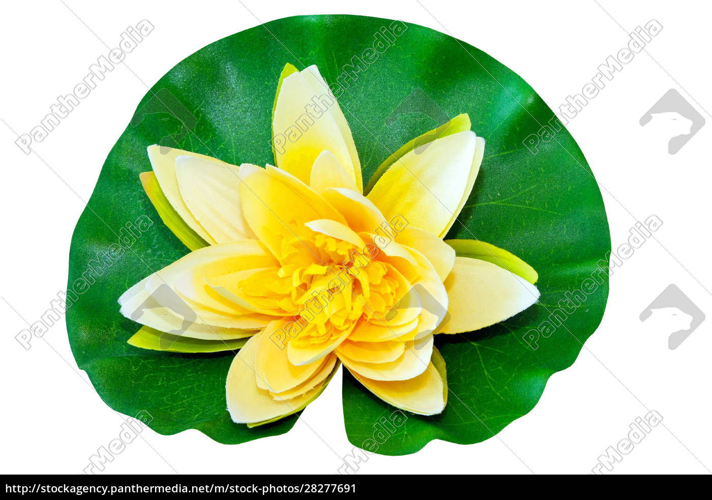 yellow, water, lily - 28277691