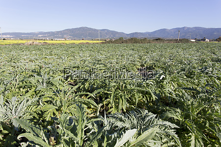 an, artichoke, plantation, in, sardinia - 28278073