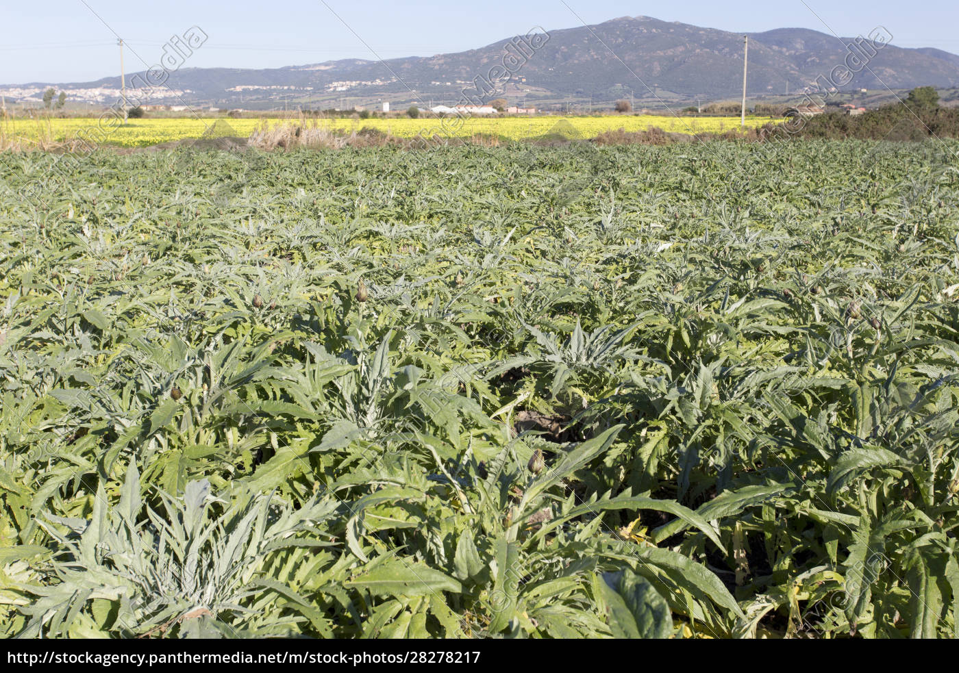 an, artichoke, plantation, in, sardinia - 28278217