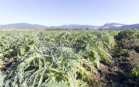 an, artichokes, field, during, winter - 28278028