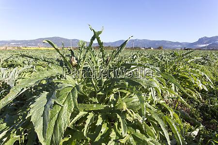 an, artichokes, field, during, winter - 28278030