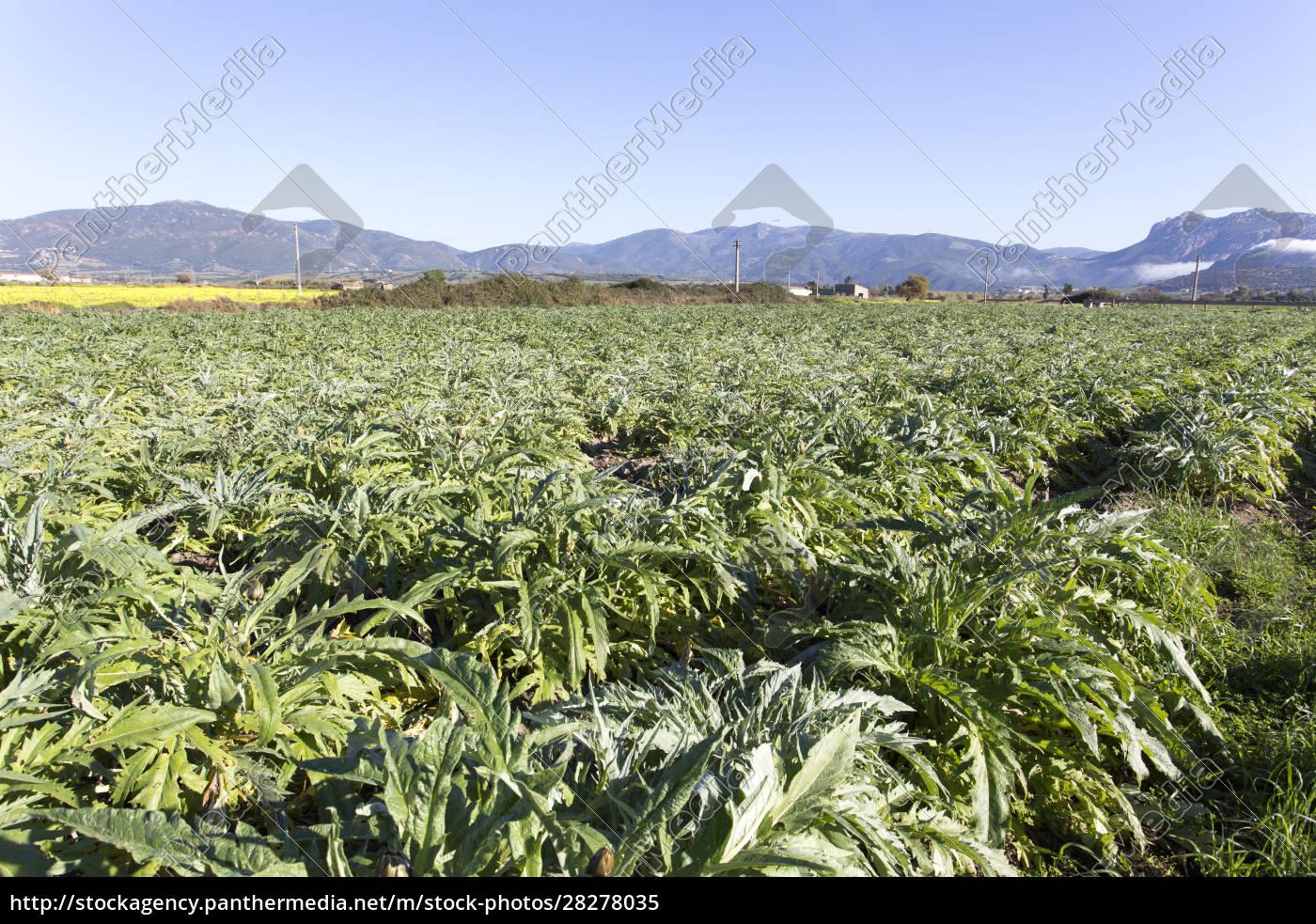 an, artichokes, field, during, winter - 28278035