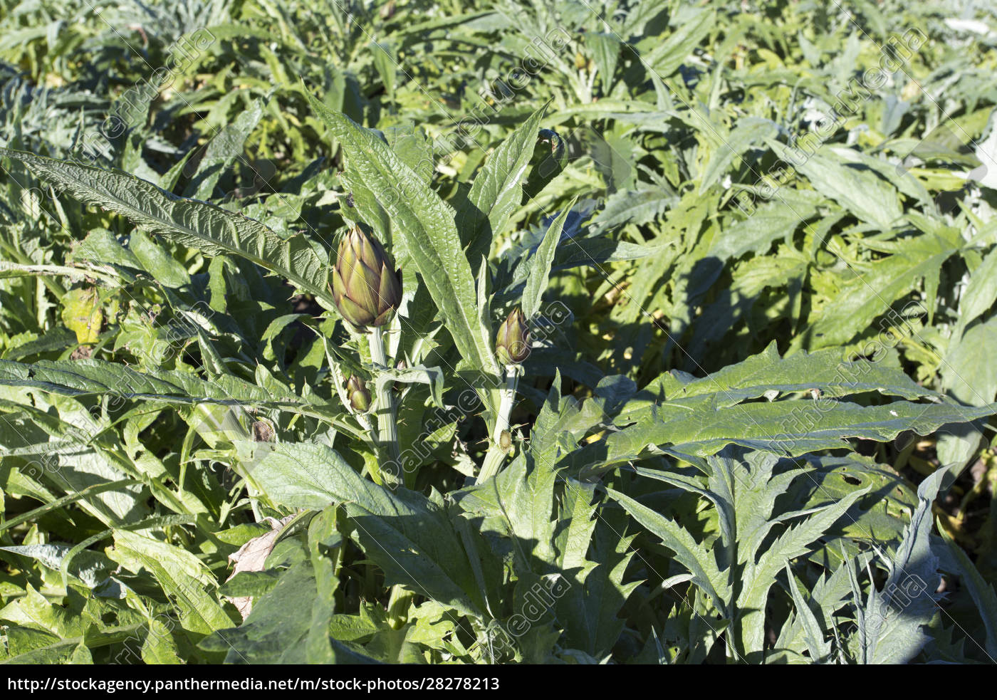an, hartichokes, plantation, during, winter - 28278213