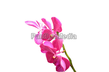 beautiful, pink, orchid, isolated, on, the - 28278376
