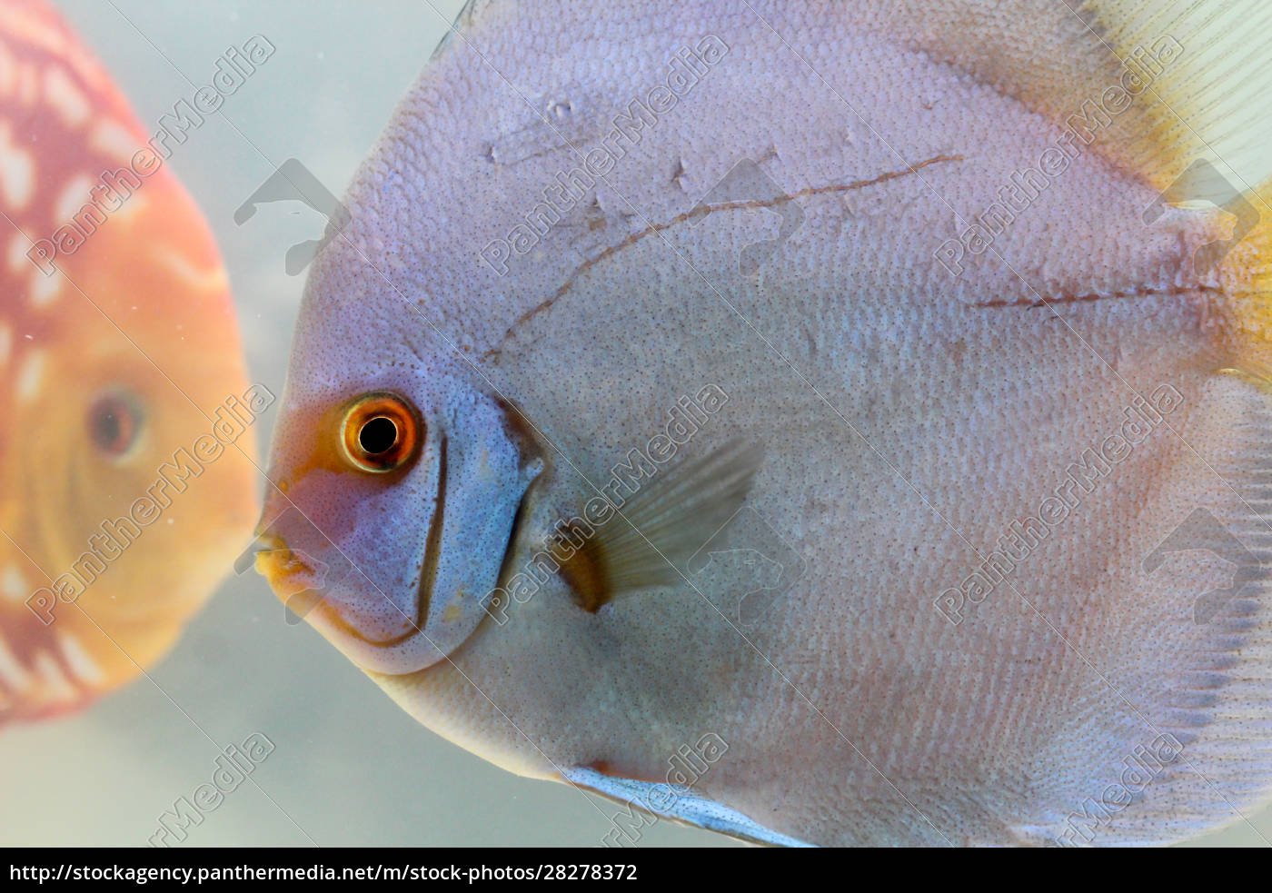 discus, fish, in, the, aquarium, , discus - 28278372
