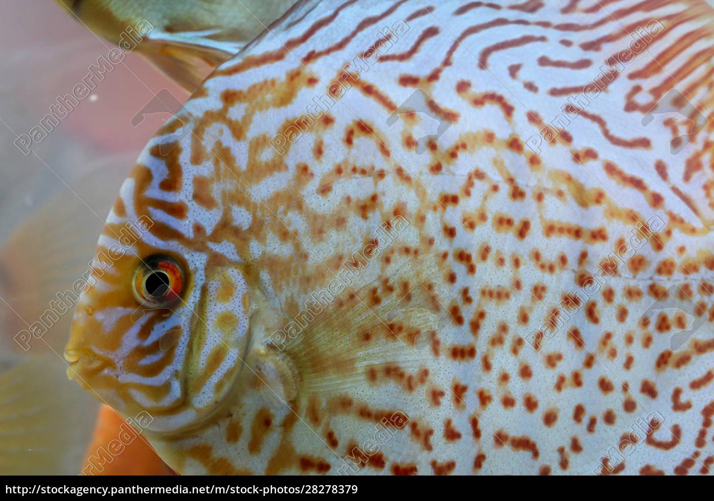 discus, fish, in, the, aquarium, , discus - 28278379