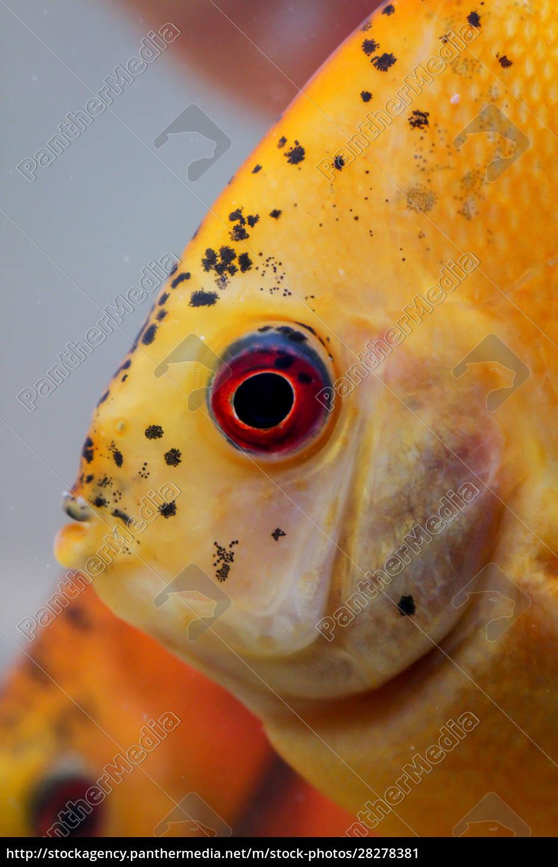 discus, fish, in, the, aquarium, , discus - 28278381