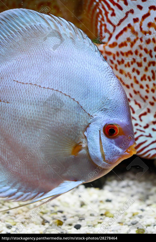 discus, fish, in, the, aquarium, , discus - 28278464